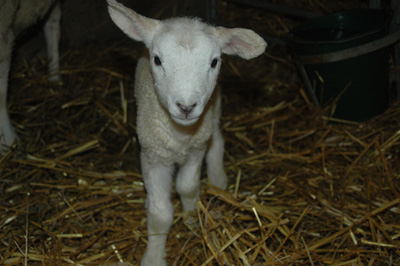 Ett Texel lamm, 1 dag gammal