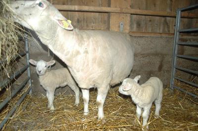 Våra 2 första lamm 8 februari 2010