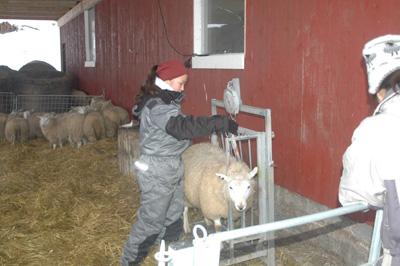 vagning lamm